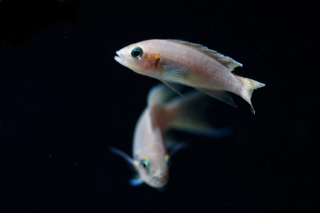 Neolamprologus brichardi - Zucht und Jungtiere