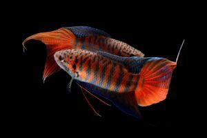 Paradiesfisch - Macropodus opercularis
